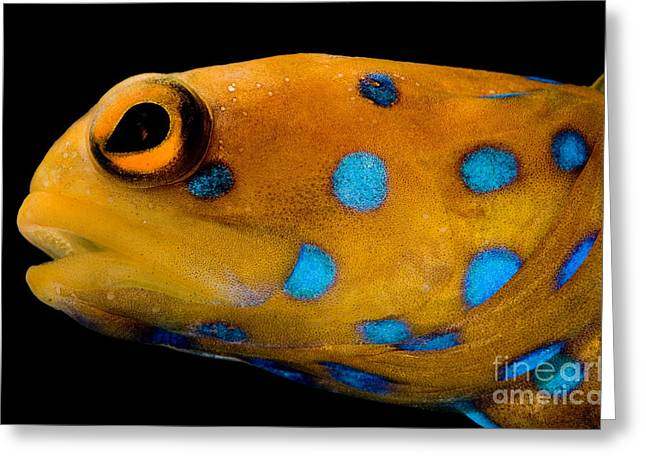 Spotted Blue Fish Greeting Cards - Bluespot Jawfish Greeting Card by Danté Fenolio
