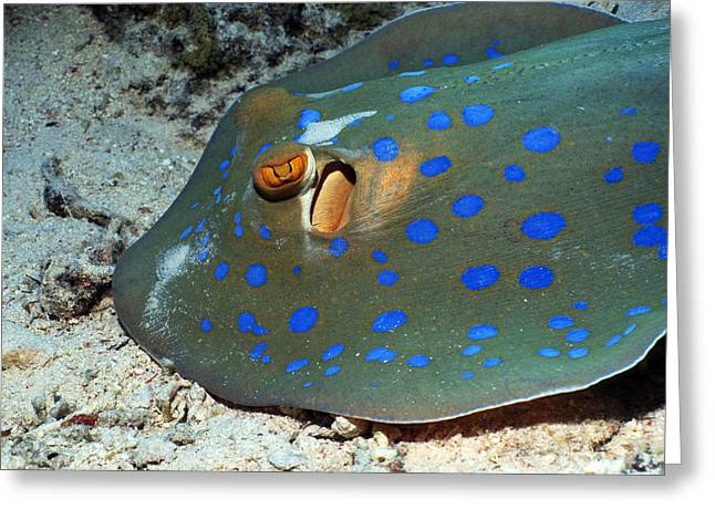 Ray Fish Greeting Cards - Bluespotted Ribbon Ray Greeting Card by Georgette Douwma