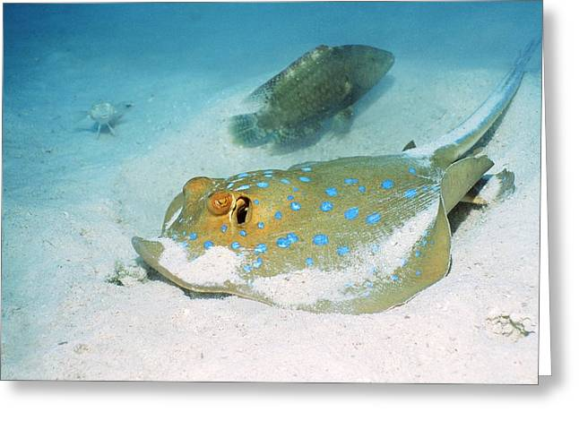 Spotted Blue Fish Greeting Cards - Bluespotted Ribbontail Ray Greeting Card by Georgette Douwma