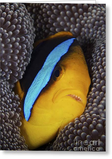 Pomacentridae Greeting Cards - Bluestripe Clownfish Tucked Away Greeting Card by Terry Moore