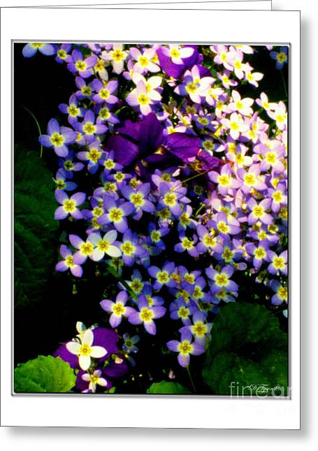 Tiny Bluet Greeting Cards - Bluets and Violets Greeting Card by Diana  Tyson