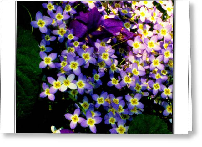Bluets and Violets Greeting Card by Diana  Tyson