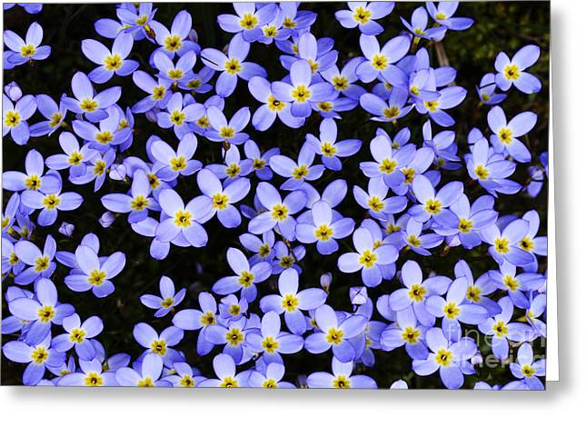 Bluets In Shade Greeting Card by Thomas R Fletcher