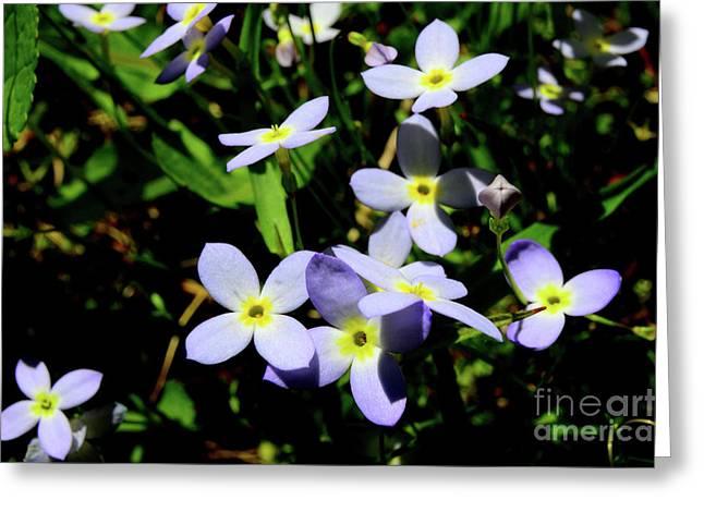 Tiny Bluet Greeting Cards - Bluets Greeting Card by Thomas R Fletcher