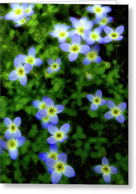 Tiny Bluet Greeting Cards - Bluets Greeting Card by Tony Gayhart