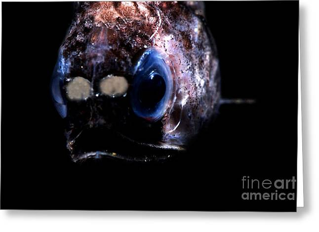 Blunt Face Lampfish Greeting Card by Dante Fenolio