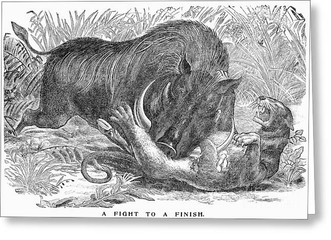 1901 Greeting Cards - BOAR & PANTHER, c1901 Greeting Card by Granger