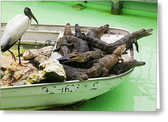 Florida Gators Greeting Cards - Boat full of alligators  Greeting Card by Garry Gay