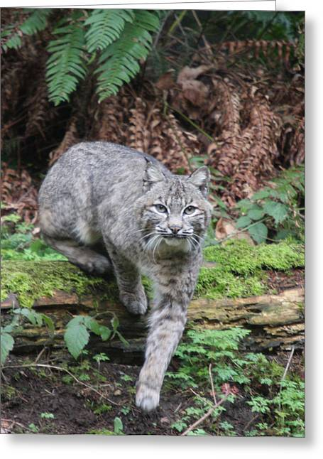 Bobcats Photographs Greeting Cards - Bobcat - 0002 Greeting Card by S and S Photo