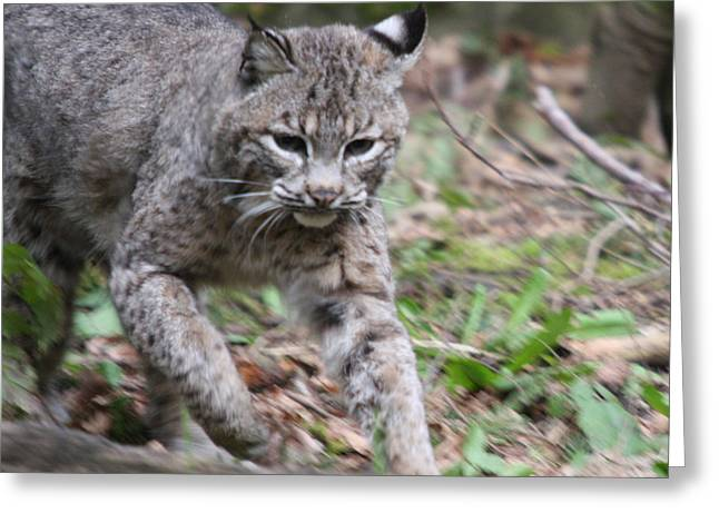 Bobcats Photographs Greeting Cards - Bobcat - 0004 Greeting Card by S and S Photo
