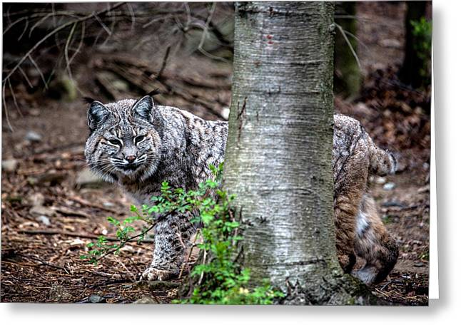 Bobcats Photographs Greeting Cards - Bobcat and Tree Greeting Card by John Dryzga