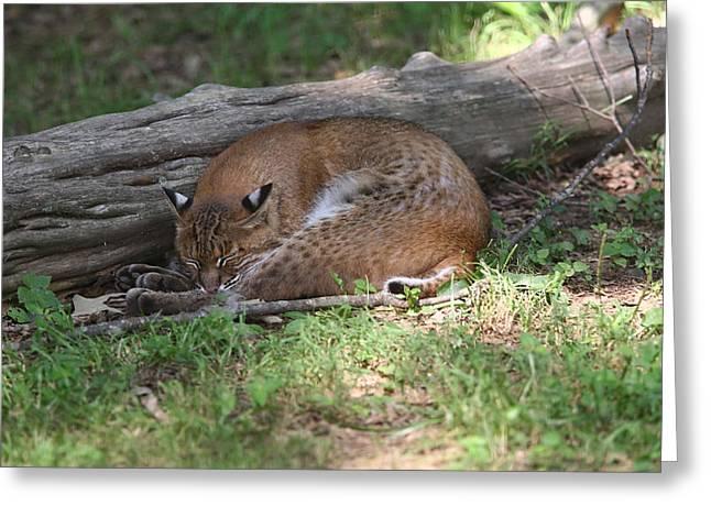 Bobcats Photographs Greeting Cards - Bobcat Asleep Greeting Card by James Jones