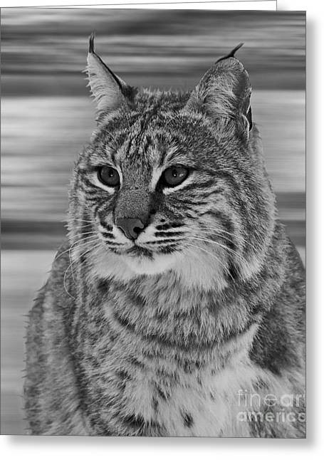 Bobcats Greeting Cards - Bobcat BW Series Greeting Card by Lloyd Alexander