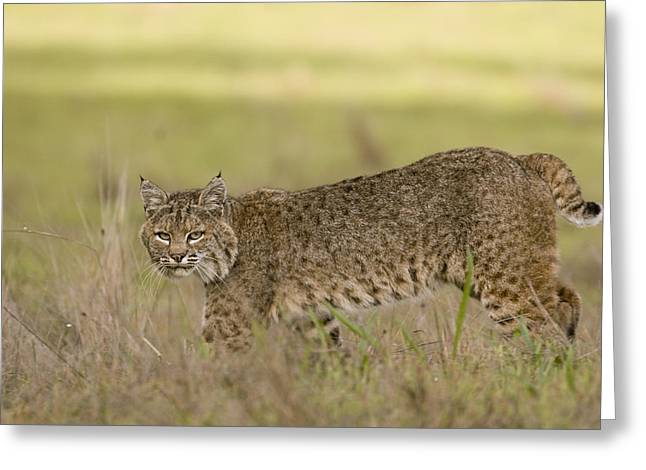 Female Bobcat Greeting Cards - Bobcat Female Walking Santa Cruz Greeting Card by Sebastian Kennerknecht