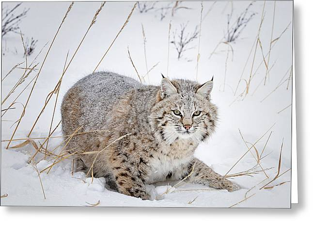 Bobcats Photographs Greeting Cards - Bobcat in the Snowy Grass Greeting Card by Howard Knauer