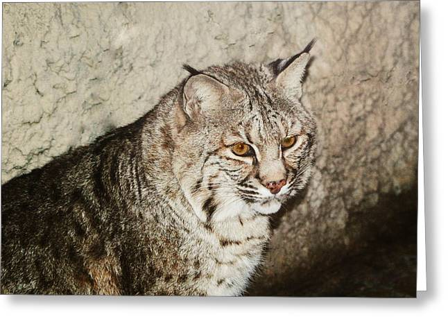 Bobcat IV Greeting Card by DiDi Higginbotham