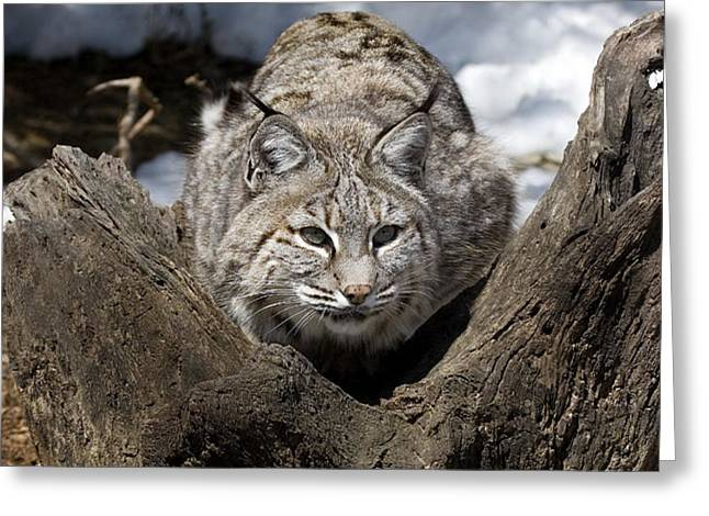 Bobcat  Greeting Card by Jeff Grabert