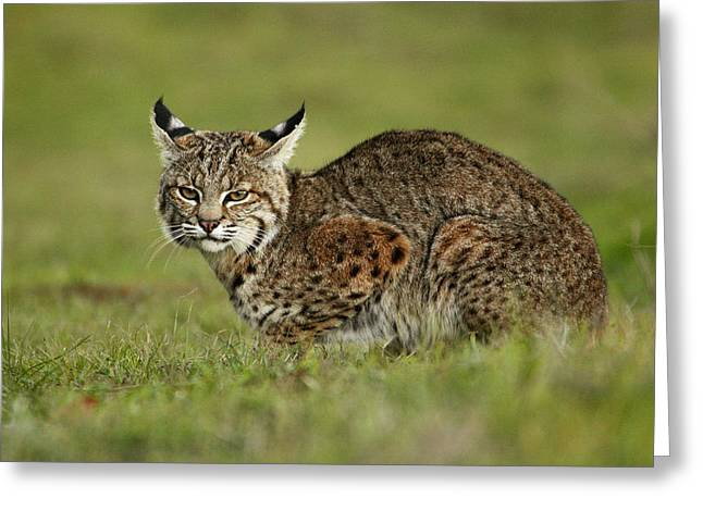 Bobcat Juvenile Santa Cruz California Greeting Card by Sebastian Kennerknecht