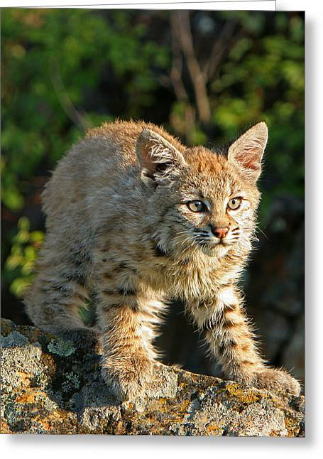 Bobcats Greeting Cards - Bobcat Kitten Greeting Card by Denny Bingaman