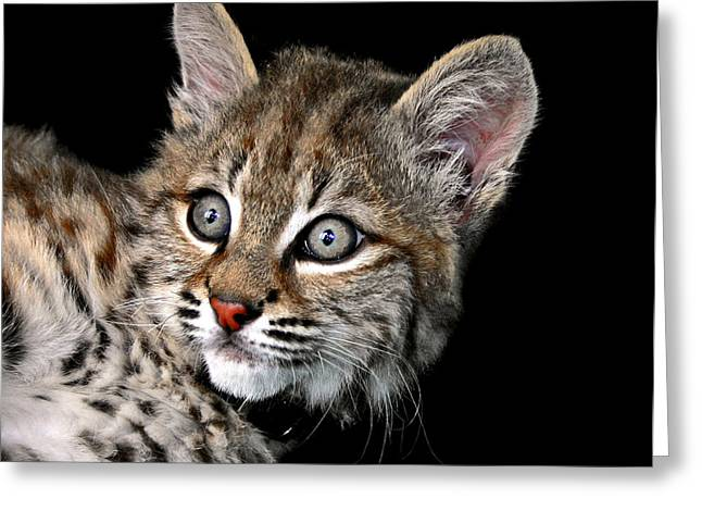 Bobcats Greeting Cards - Bobcat Kitten Greeting Card by Rebecca Morgan