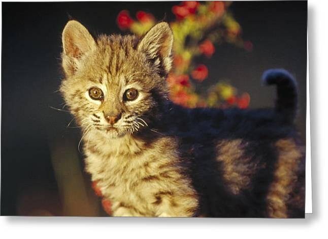 Bobcat Kitten Standing On Log North Greeting Card by Tim Fitzharris