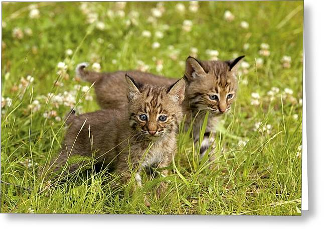 Bobcat Kittens Greeting Card by John Pitcher