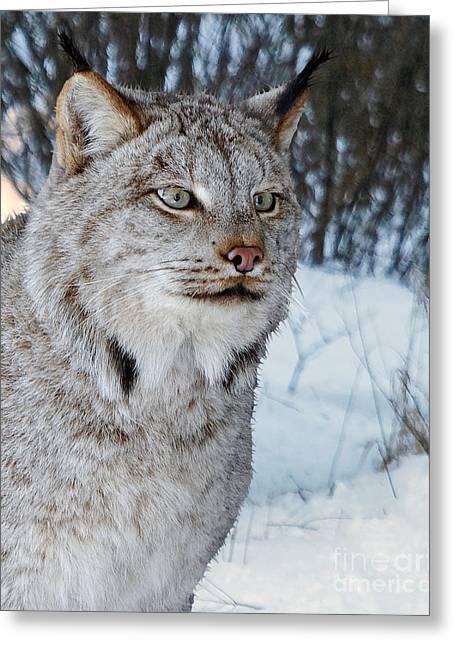 Bobcats Greeting Cards - Bobcat Greeting Card by Lloyd Alexander