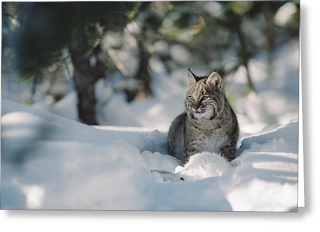 Lynx Rufus Greeting Cards - Bobcat Lynx Rufus Adult Resting In Snow Greeting Card by Michael Quinton