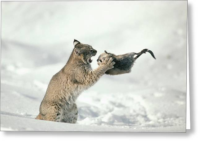Three Speed Greeting Cards - Bobcat Lynx Rufus Capturing Muskrat Greeting Card by Michael Quinton