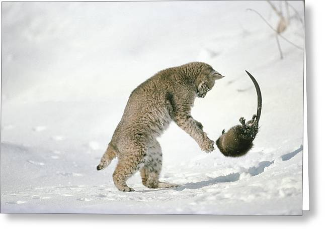 Lynx Sp Greeting Cards - Bobcat Lynx Rufus Hunting Muskrat Greeting Card by Michael Quinton
