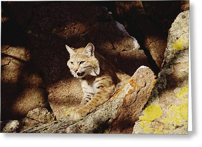 Lynx Rufus Greeting Cards - Bobcat Lynx Rufus Portrait On Rock Greeting Card by Gerry Ellis