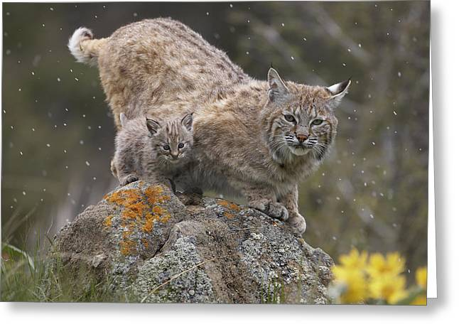 Bobcat Mother And Kitten In Snowfall Greeting Card by Tim Fitzharris