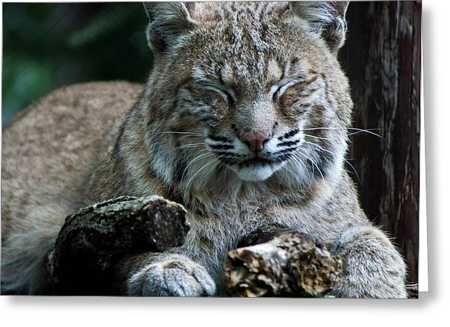 Bobcats Photographs Greeting Cards - Bobcat Greeting Card by Sandra Sykes