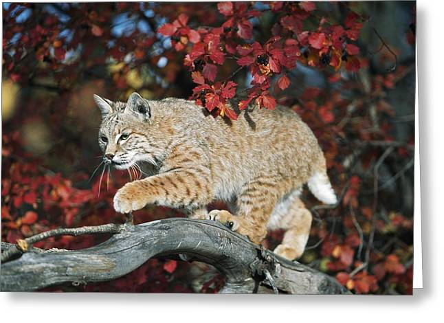 Bobcat Walks On Branch Through Hawthorn Greeting Card by David Ponton