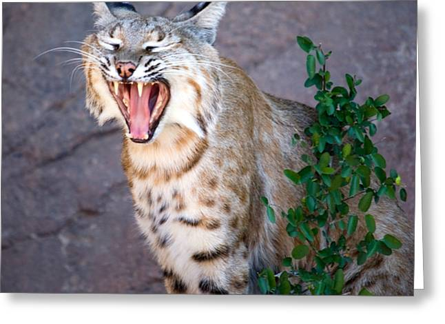 Bobcat Yawn Greeting Card by Randall Ingalls