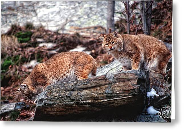 Den. Greenwood Greeting Cards - Bobcats on the Loose Greeting Card by Brad Hoyt