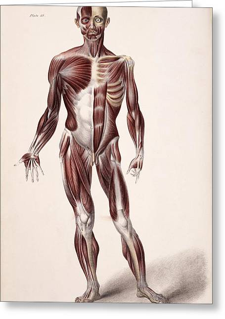 Historical Images Greeting Cards - Body Musculature Greeting Card by Sheila Terry