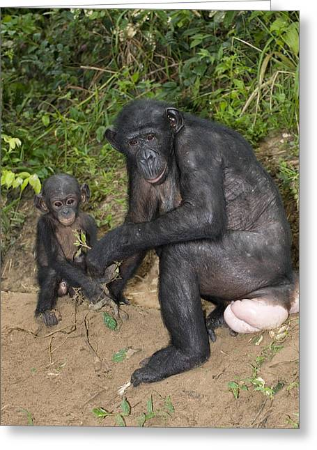 Chimpanzee Photographs Greeting Cards - Bonobo Ape Mother And Young Greeting Card by Tony Camacho