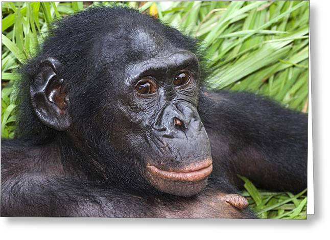 Chimpanzee Photographs Greeting Cards - Bonobo Ape Greeting Card by Tony Camacho