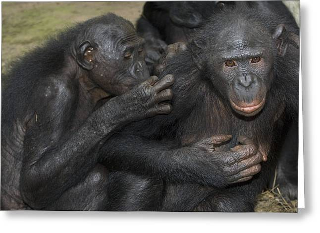 Chimpanzee Photographs Greeting Cards - Bonobo Apes Grooming Greeting Card by Tony Camacho