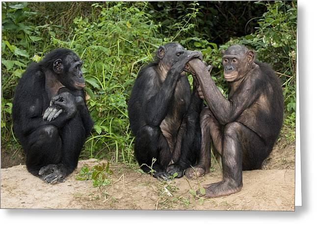 Chimpanzee Photographs Greeting Cards - Bonobo Apes Greeting Card by Tony Camacho