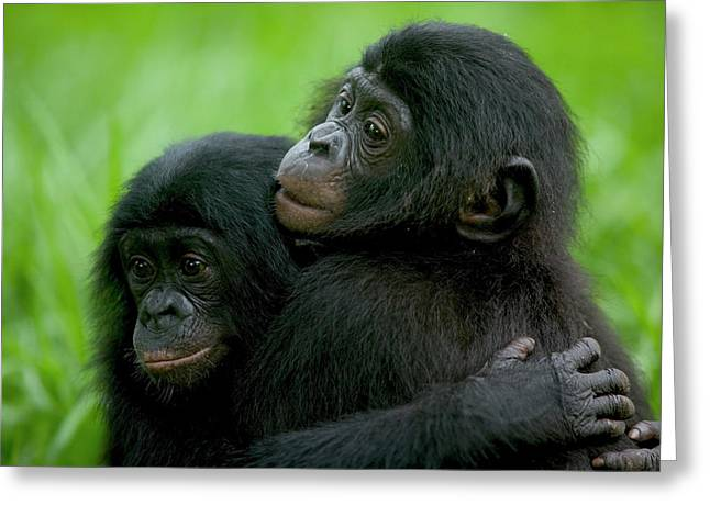 Love The Animal Greeting Cards - Bonobo Pan Paniscus Pair Of Orphans Greeting Card by Cyril Ruoso