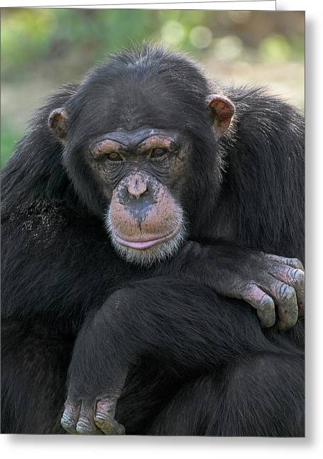 Vallee Greeting Cards - Bonobo Pan Paniscus Portrait, La Vallee Greeting Card by Cyril Ruoso