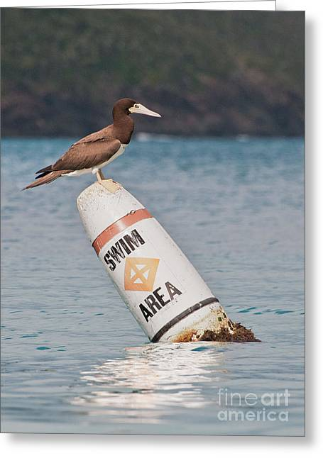 Brown Booby Greeting Cards - Booby Lifeguard Greeting Card by Jim Chamberlain