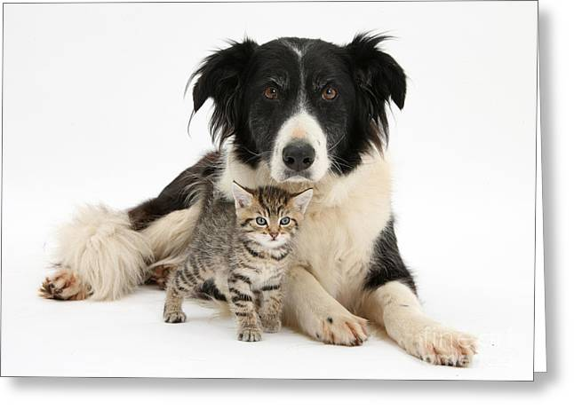 Mixed Species Greeting Cards - Border Collie And Kitten Greeting Card by Mark Taylor