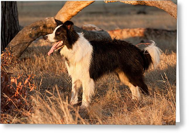 Pet Greeting Cards - Border Collie at Sunset Greeting Card by Michelle Wrighton