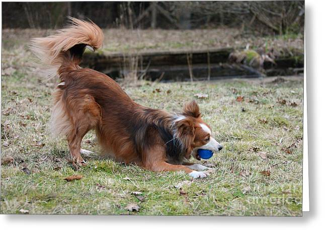 Dog Playing Ball Greeting Cards - Border Collie Playing With Ball Greeting Card by Mark Taylor