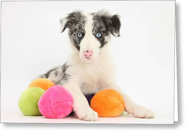 Perky Greeting Cards - Border Collie Pup Greeting Card by Mark Taylor