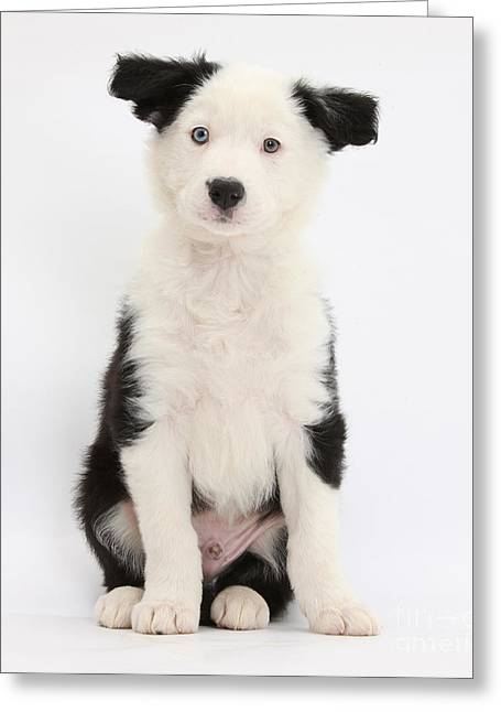 Puppy Sitting Greeting Cards - Border Collie Puppy Sitting Greeting Card by Mark Taylor