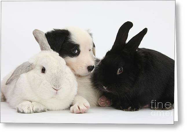 House Pet Greeting Cards - Border Collie Pups With Black Rabbit Greeting Card by Mark Taylor